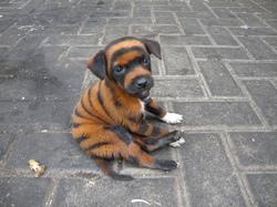 tiger dog.jpg