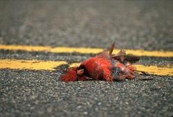 dead cardinal.jpg