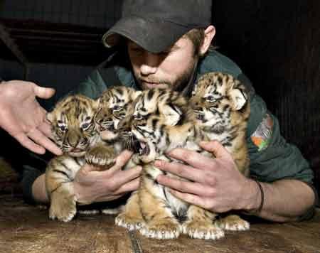 tiger-cubs.jpg